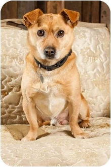 Beagle/Fox Terrier (Smooth) Mix Dog for adoption in Portland, Oregon - Mikey