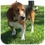 Photo 3 - Basset Hound Mix Dog for adoption in Sugar Land, Texas - Bubba