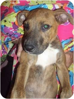 American Pit Bull Terrier Mix Puppy for adoption in Weeki Wachee, Florida - Ears
