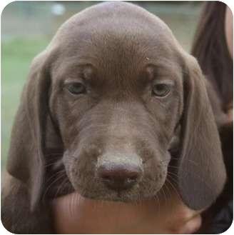 Labrador Retriever/Hound (Unknown Type) Mix Puppy for adoption in Allentown, Pennsylvania - Charlie Brown