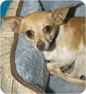 Chihuahua Mix Dog for adoption in Tangent, Oregon - Monte Carlo