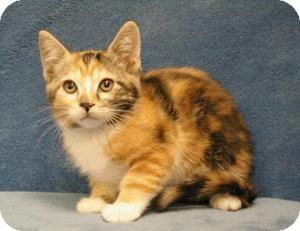 Domestic Shorthair Cat for adoption in Sacramento, California - Dot