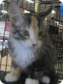 Maine Coon Kitten for adoption in Dallas, Texas - Katrina