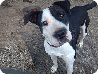 Labrador Retriever/Terrier (Unknown Type, Medium) Mix Dog for adoption in Lexington, Kentucky - Felicia