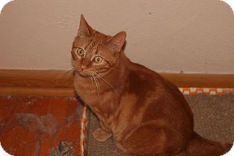 Domestic Shorthair Cat for adoption in Whiting, Indiana - Archie