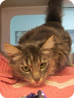 Domestic Mediumhair Cat for adoption in Westminster, California - Tennessee