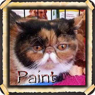 Exotic Cat for adoption in Beverly Hills, California - Paint