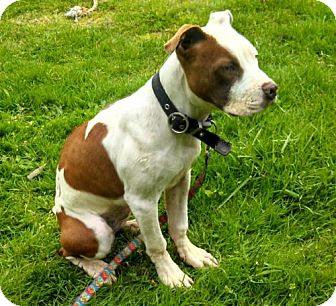 Pit Bull Terrier Mix Puppy for adoption in Seattle, Washington - Mallory