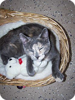 Domestic Shorthair Kitten for adoption in China, Michigan - Sprinkles