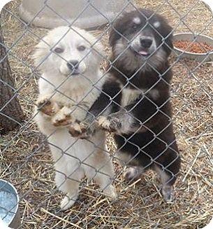 Husky/Australian Shepherd Mix Puppy for adoption in Bardonia, New York - Judge and Judy