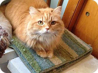 Domestic Longhair Cat for adoption in Frederick, Maryland - Precious