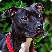 Adopt A Pet :: Vika - Charlotte, NC