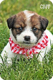 Australian Shepherd Mix Puppy for adoption in Brattleboro, Vermont - CLIFF