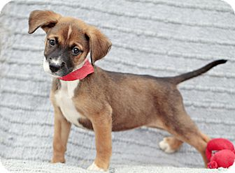 Australian Shepherd/Labrador Retriever Mix Puppy for adoption in Marietta, Georgia - Dayna