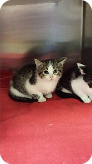 Domestic Shorthair Kitten for adoption in Media, Pennsylvania - Peeper (Special $80)