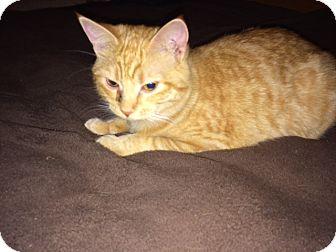 Domestic Shorthair Cat for adoption in Minneapolis, Minnesota - Skittles
