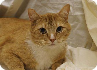 Domestic Shorthair Cat for adoption in Berlin, Connecticut - Britt