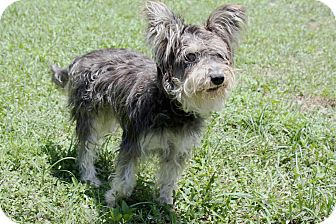 Schnauzer (Miniature) Mix Dog for adoption in Boca Raton, Florida - Amy