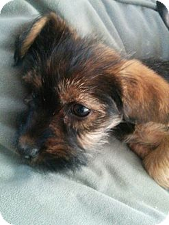 Terrier (Unknown Type, Small)/Beagle Mix Puppy for adoption in Hainesville, Illinois - Williams