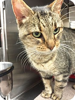 Domestic Shorthair Cat for adoption in Arlington/Ft Worth, Texas - Lady Gold