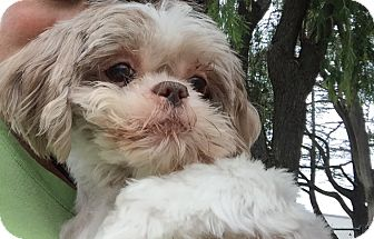 Shih Tzu Dog for adoption in El Cajon, California - Baby