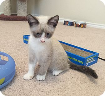 Snowshoe Kitten for adoption in Plano, Texas - Odie - GRUMPY CAT DOPPLEGANGER