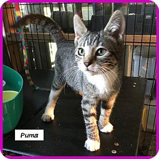 Domestic Shorthair Cat for adoption in Miami, Florida - Puma