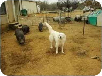 Great Pyrenees Dog for adoption in Kyle, Texas - Comet