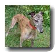 Greyhound Dog for adoption in Roanoke, Virginia - Safe