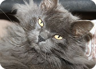 Domestic Longhair Cat for adoption in Marietta, Ohio - Church (Neutered)