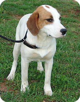 Hound (Unknown Type) Mix Dog for adoption in Staunton, Virginia - amy