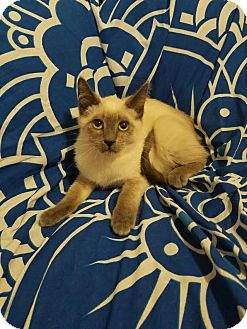 Siamese Cat for adoption in Los Angeles, California - Bowie