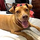 Adopt A Pet :: Penny II - Denton, TX