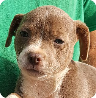 Labrador Retriever/Basset Hound Mix Puppy for adoption in Colonial Heights, Virginia - Bongo