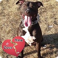 American Pit Bull Terrier Dog for adoption in Des Moines, Iowa - Zeus