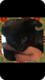 Domestic Shorthair Kitten for adoption in Sterling Heights, Michigan - Marco