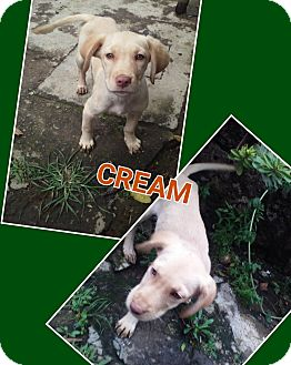 Labrador Retriever/Retriever (Unknown Type) Mix Puppy for adoption in LAKEWOOD, California - Cream