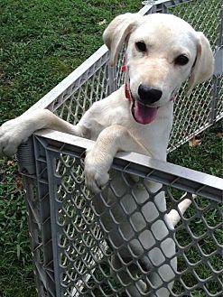 Labrador Retriever Mix Puppy for adoption in E. Greenwhich, Rhode Island - Maggie