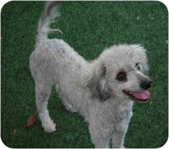 Poodle (Toy or Tea Cup) Mix Dog for adoption in San Diego, California - Lucy