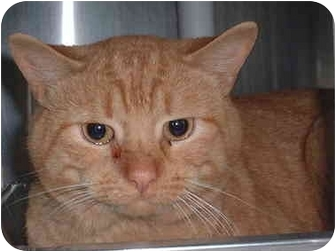 Domestic Shorthair Cat for adoption in Honesdale, Pennsylvania - Tom the Cat