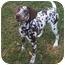 Photo 3 - Dalmatian Puppy for adoption in League City, Texas - Paris