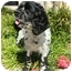 Photo 1 - Cocker Spaniel Dog for adoption in Sugarland, Texas - Griffin