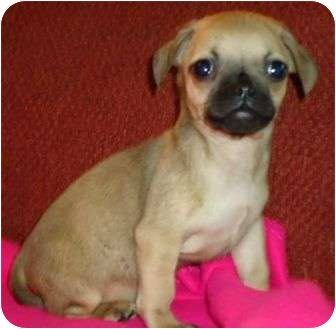 Pug/Beagle Mix Puppy for adoption in P, Maine - Haden