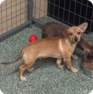 Dachshund Mix Puppy for adoption in Simi Valley, California - Guppy