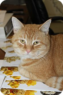 Domestic Shorthair Cat for adoption in North Branford, Connecticut - Owen