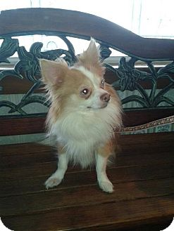 Chihuahua Dog for adoption in Woodstock, Ontario - Harvinder (Harvey)