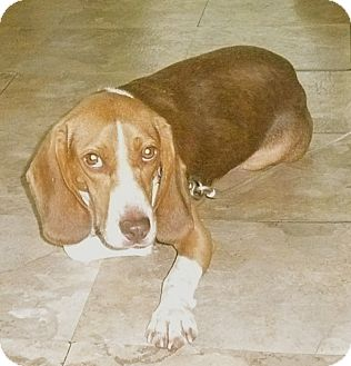Beagle Dog for adoption in Palm Bay, Florida - Watson