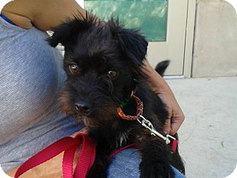 Terrier (Unknown Type, Small) Mix Dog for adoption in Los Angeles, California - OPHELIA
