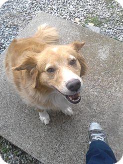 Golden Retriever Mix Dog for adoption in Clarksville, Tennessee - Chloe - URGENT!!!