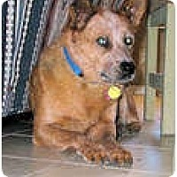 Adopt A Pet :: Whiskey (adoption pending) - Phoenix, AZ